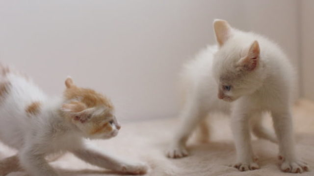 子猫ファイト