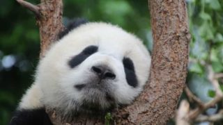 いねむりパンダ